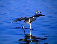 Tricolored Heron fishing at Ft. Desota Park in blue water lagoon, St. Petersburg, Florida.