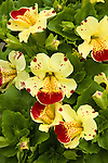 MIMULUS 'MYSTIC CREAM WITH SPOTS', MONKEYFLOWER
