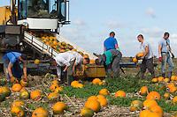 Harvesting pumpkins at David Bowman Pumpkins Ltd Europe's largest grower based in Lincolnshire<br /> Picture Tim Scrivener 07850 303986<br /> tim@agriphoto.com<br /> ….covering agriculture in the UK….