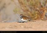 Killdeer, Bosque del Apache Wildlife Refuge, New Mexico