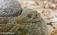 0421-1003  Santa Catalina Island Rattlesnake (Grey Variant), Endangered Species, Crotalus catalinensis  © David Kuhn/Dwight Kuhn Photography.