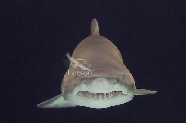 Sand Tiger Shark or Sand Shark or Grey Nurse shark (Carcharias taurus or Eugomphodus taurus)--some disagreement over classification.
