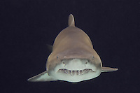Sand Tiger Shark or Sand Shark or Grey Nurse shark (Carcharias taurus or Eugomphodus taurus)--some disagreement over classification.