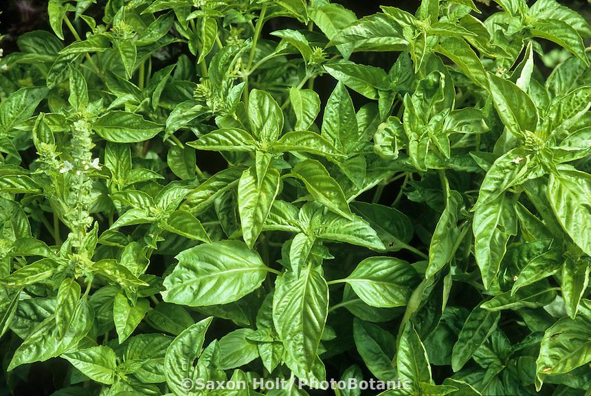 Culinary herb leaves of Ocimum basilicum-Sweet Basil growing in garden