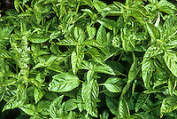 Culinary herb leaves of Ocimum basilicum-Sweet Basil growing in garden