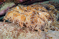 ornate wobbegong, Orectolobus ornatus, or Gulf wobbegong or banded wobbegong, Orectolobus halei, Flat Rock, Brisbane, Queensland, Australia, South Pacific Ocean