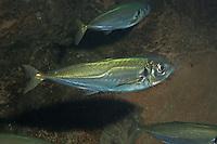 Holzmakrele, Stöcker, Pferdemakrele, Schildmakrele, Bastardmakrele, Trachurus trachurus, Atlantic horse mackerel, scad, maasbanker