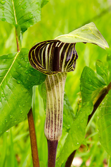 A wildflower favorite of mine, the Jack-in-the-pulpit. I've seen plenty of these in bogs and wetlands but only recently found one both accessible and intact to photograph. I'm glad I got this shot 'in the can' !