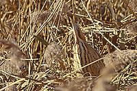 Rohrdommel im Schilf versteckt, Große Rohrdommel, Dommel, Botaurus stellaris, Eurasian bittern, great bittern, Le Butor étoilé