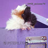 Xavier, ANIMALS, REALISTISCHE TIERE, ANIMALES REALISTICOS, photos+++++,SPCHGUINEA76,#A#, EVERYDAY ,funny