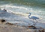 Great egret on shores of Casey Key, Florida