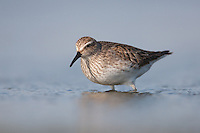 White-rumped Sandpiper (Calidris fuscicollis) in breeding plumage, East Pond, Jamaica Bay Wildlife Refuge