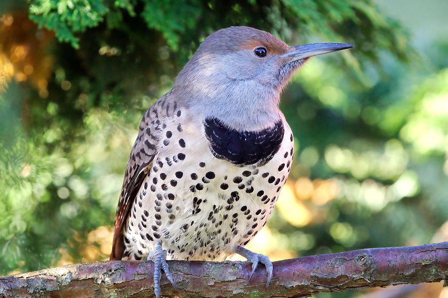 Female red-shafted northern flicker (Colaptes auratus) perched on hinoki cypress branch, Snohomish, Washington, USA