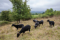 Hebridean sheep grazing fenced area to remove scrub and create open grassland to favour species such as Cowslips, the foodplant of the Duke of Burgundy butterfly. Huddinknoll Hill, Gloustershire.