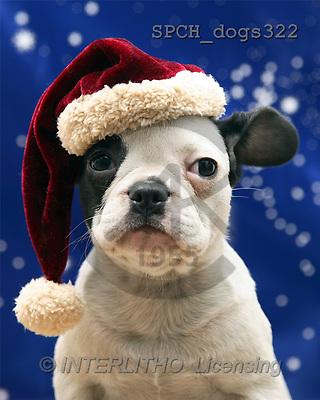 Xavier, CHRISTMAS ANIMALS, photos(SPCHdogs322,#XA#)