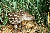 Xingu, Brazil. Young tapir (anta) (Tapirus terrestris).