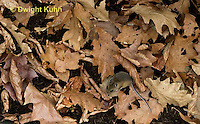 MU35-516z White-footed Mouse camouflaged in leaves on forest floor, Peromyscus leucopus