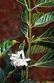 Amazon, Brazil. Coffee plant in flower.