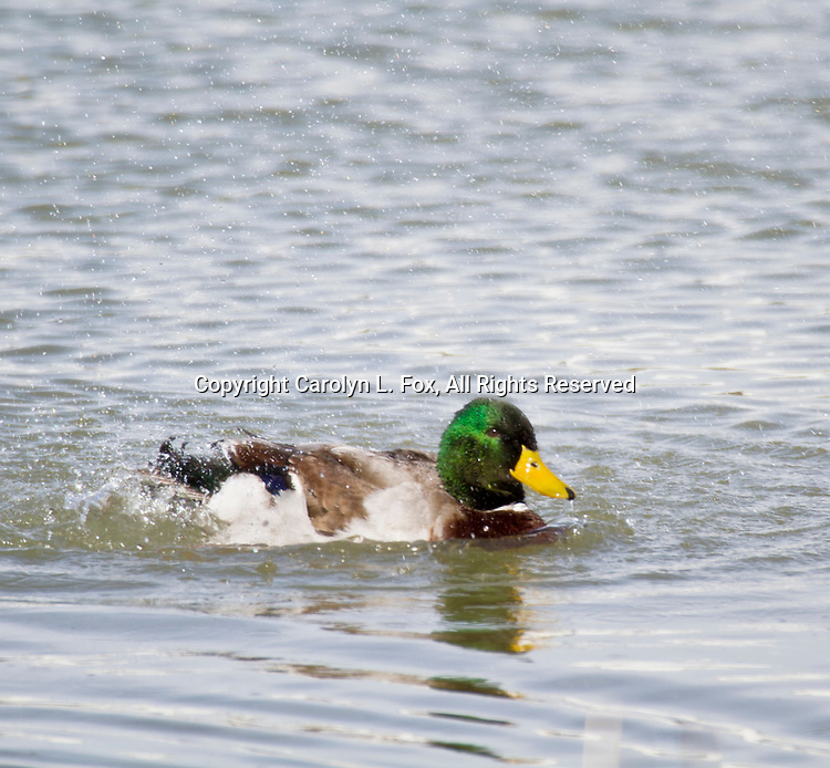 Ducks play in the water.