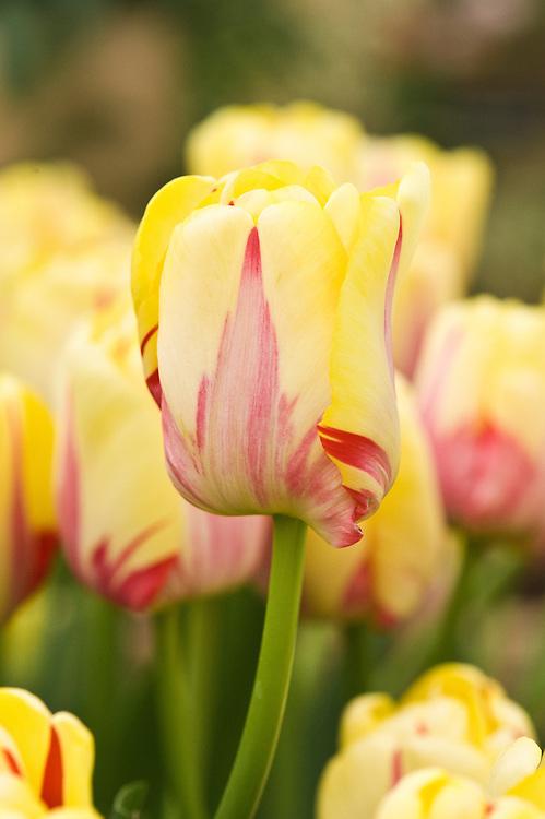 Tulip 'World Expression' (Tulip 'World Expression').