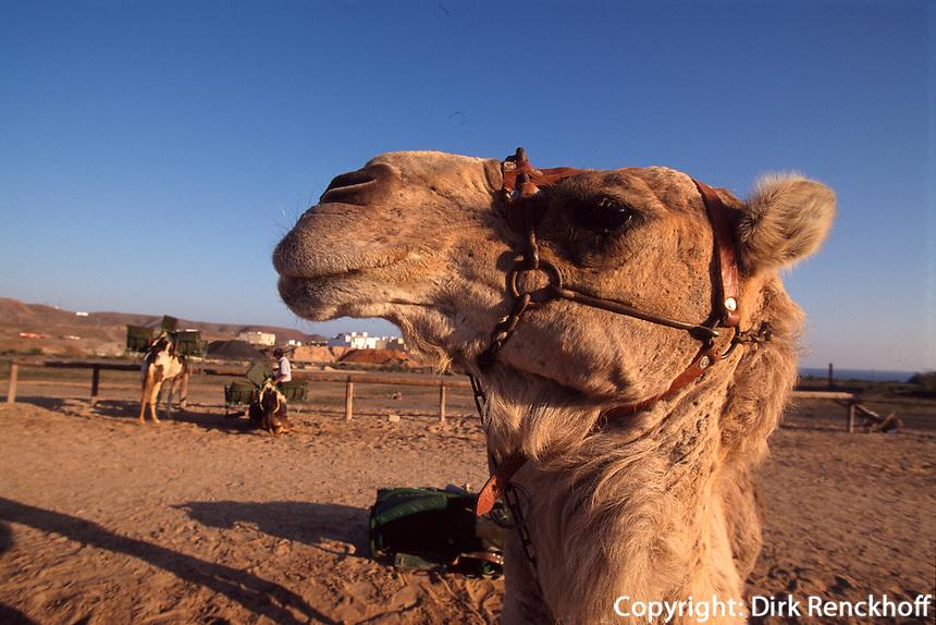 Spanien, Kanarische Inseln, Fuerteventura, Dromedare in Lajita