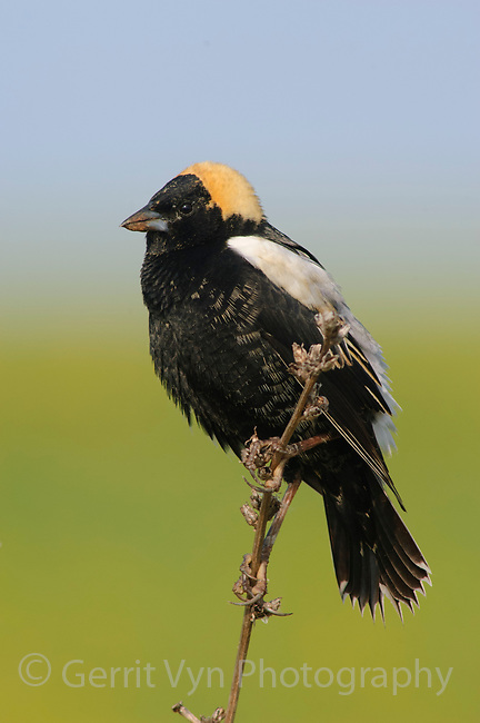 Male Bobolink (Dolichonyx oryzivorus) in breeding (alternate)  plumage. Many birds arrive on the breeding grounds with maize-yellow feather-tips which will wear off. Tompkins County, NY. May.