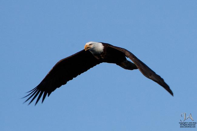 Bald eagle flying over Homer Spit, Alaska, near sunset