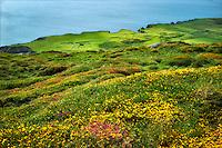 Wildflowers and ocean. Sky Loop Road. Clifden, Ireland