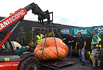 Pictured :   The giant pumpkin is carefully placed on the scales.<br /> <br /> A pair of twins have broken the British record for the biggest pumpkin - but narrowly missed out on the world record by just 31lb.<br /> <br /> The incredible gourd weighed in at a whopping 2,593.7lb, two and half times the size of a polar bear, beating the previous UK best of 2,433lb.<br /> <br /> Ian and Stuart Paton, from Lymington in Hampshire's New Forest National Park, said they were 'extremely pleased' with their 'incredible beast'.<br /> <br /> During its three-week growing peak, Ian and Stuart said the pumpkin was gaining around 51lb a day and they spent around six hours a day tending to it.  SEE OUR COPY FOR FULL DETAILS.<br /> <br /> <br /> © Roger Arbon/Solent News & Photo Agency<br /> UK +44 (0) 2380 458800