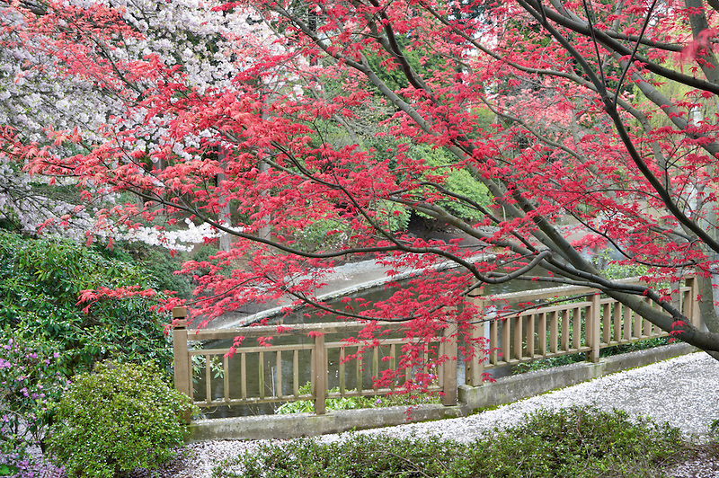 New red leaf growth on Japanese Maple tree and blooming cherry tree. Crystal Springs Rhododendron Garden. Oregon
