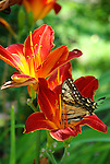 Swallowtail butterfly on lily