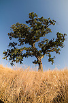 Oaks and oats, early summer morning, Amador Country, Calif.