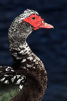 The Muscovy Duck (Cairina moschata) is a large duck which is native to Mexico and Central and South America. A small wild population reaches into the United States in the lower Rio Grande Valley of Texas.