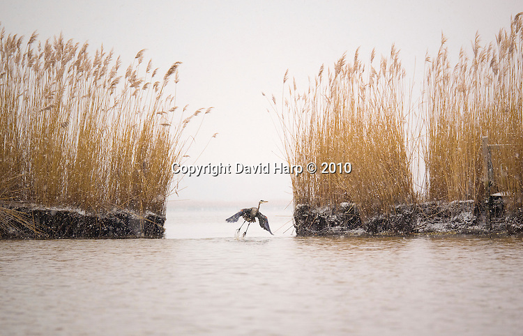 A great blue heron shoots the gap where erosion has carved a new channel through the marsh.