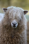 United Kingdom, England, Gloucestershire, Cotswolds, Naunton: Cotswold Lion breed of sheep | Grossbritannien, England, Gloucestershire, Cotswolds, Naunton: ein Cotswold Lion Schaf