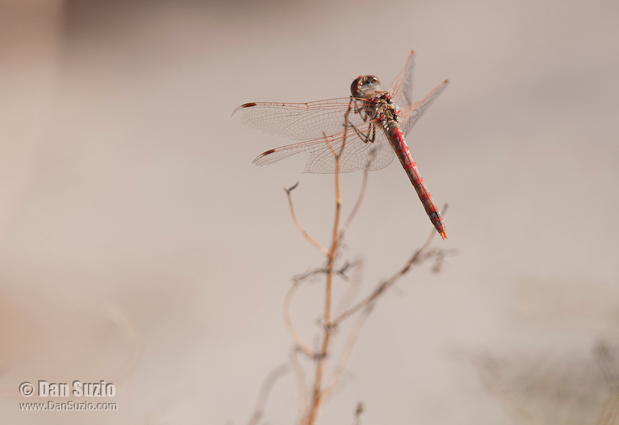 Variegated meadowhawk, Sympetrum corruptum, at Saratoga Spring in Death Valley National Park, California