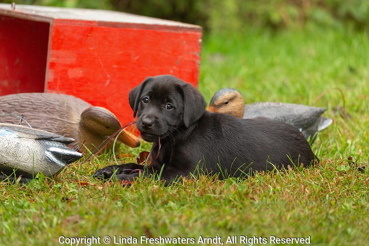 Black Labrador retriever puppy chewing on the duck decoy cords.