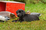 Black Labrador retriever puppy chewing on the duck decoy cords.