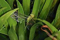 Grüne Mosaikjungfer, Weibchen bei der Eiablage in Krebsschere, Aeshna viridis, Aeschna viridis, Green Hawker, female, oviposition, egg deposition, Edellibellen, Aeshnidae, Aeschnidae