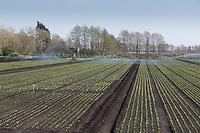 Irrigating lettuce in the Cambridgeshire Fens<br /> Picture Tim Scrivener 07850 303986