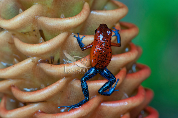 Wild Blue-jeans Frog or Strawberry poison frog or Strawberry poison-dart frog (Oophaga pumilio) on Beehive Ginger plant (Zingiber spectabile).  Found from Northeastern Nicaragua south to Panama in lowland tropical rainforests. This photo taken in Costa Rica.