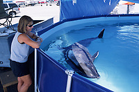 Melon-headed Whale (Peponocephala electra) recieves care from marine mammal researchers after being stranded on an Oahu beach. These whales were kept in special pens at the Marine Corps Base in Kaneohe Bay, Oahu, Hawaii.