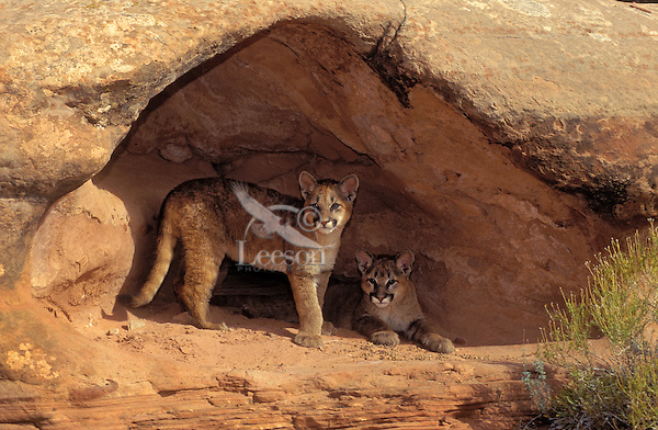 COUGAR/MOUNTAIN LION/PUMA..Four month old young seek shelter from sun..Near Canyonlands National Park, Utah..Autumn. (Felis concolor).