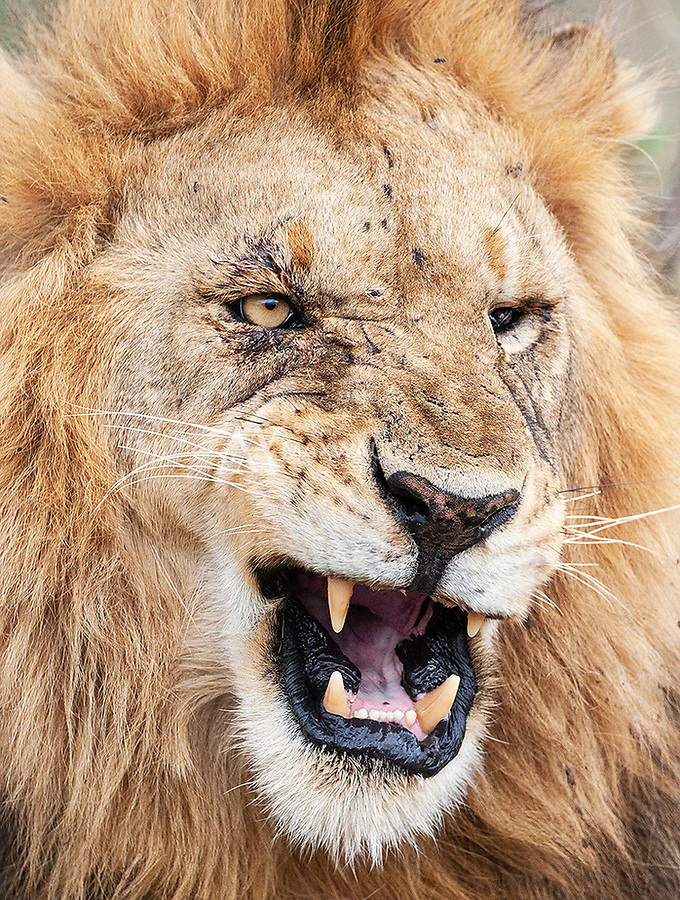One of a pair of brother lions in the Serengeti.