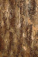 Buchdrucker, Großer Borkenkäfer, Larven fressen im Holz, Fraßbild, Fichtenborkenkäfer, Fichten-Borkenkäfer, Achtzähniger Borkenkäfer, Ips typographus, European spruce bark beetle, engraver beetle, common European engraver, spruce bark beetle, le bostryche typographe
