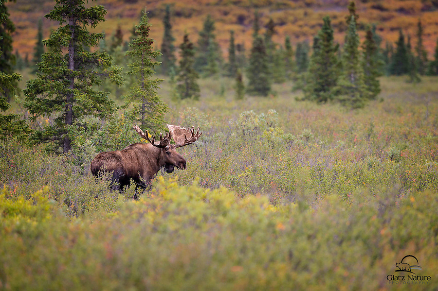 We love the closeup images of animals, which show off their unique features and beauty.  However, sometimes it's nice to take images that place the animal in its habitat.  Here you see the moose as part of its environment:  dense foliage, spruce trees and fall-colored tundra in the background.  Denali National Park, Alaska.