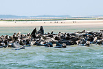 Gray Seals hauled out on the Chatham Bars, Cape Cod.  Medium shot view of colony hauled out on sand bar. A large bull seal lifts his head in the background.