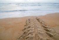 Leatherback Sea Turtle track. Dermochelys coriacea. Trinidad.