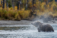 Fall landscape of grizzly bear shaking off water at Crescent Lake in Lake Clark National Park, Alaska<br /> <br /> Photo by Jeff Schultz/SchultzPhoto.com  (C) 2018  ALL RIGHTS RESERVED<br /> <br /> 2018 Bears, Glaciers and Fall Colors Photo tour/workshop