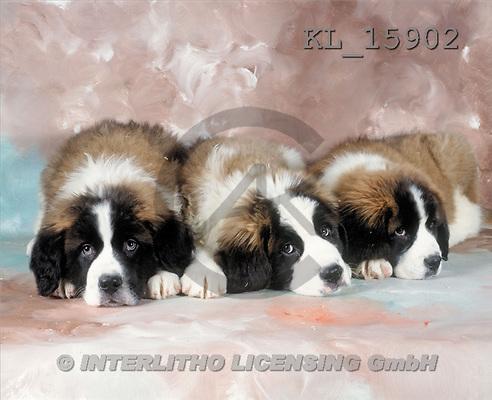 Interlitho, Alberto, ANIMALS, dogs, photos, 3 dogs(KL15902,#A#) Hunde, perros